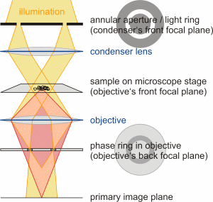Introduction phase contrast microscopy pcm soft matter physics schematic simplified assembly of a phase contrast microscope containing an annular aperture light ring in the condenser and an accordant phase ring in the ccuart Images